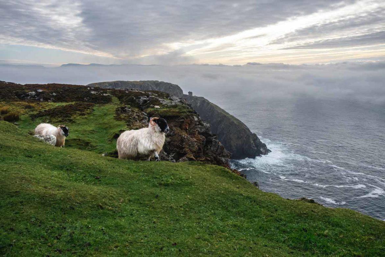 Schafe in Irland im County Donegal Sehenswürdigkeiten - die Wolle wir weiter verarbeitet - Merinowolle