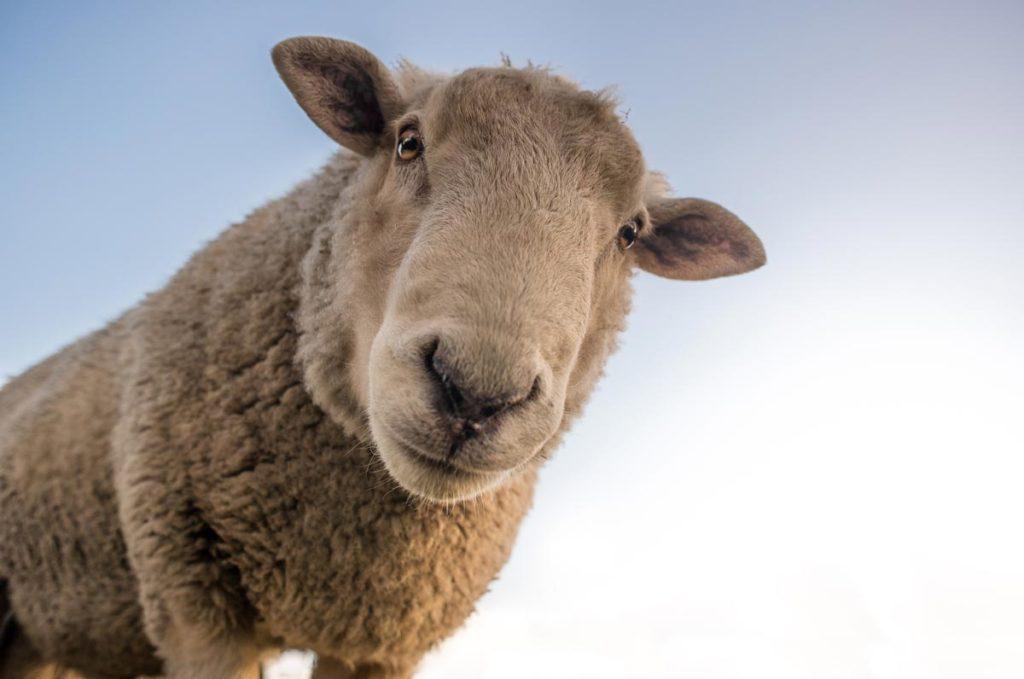 Isolation-Daune-Kunstfaser-Wolle-schaf