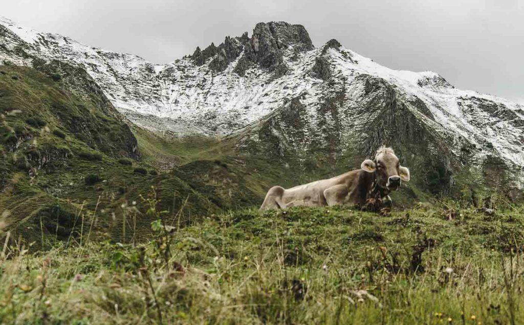 kuh-wandern-in-den-alpen