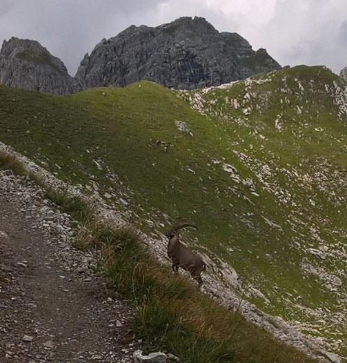 steinbock_unterhalb_widderstein-wandern-in-den-alpen-01