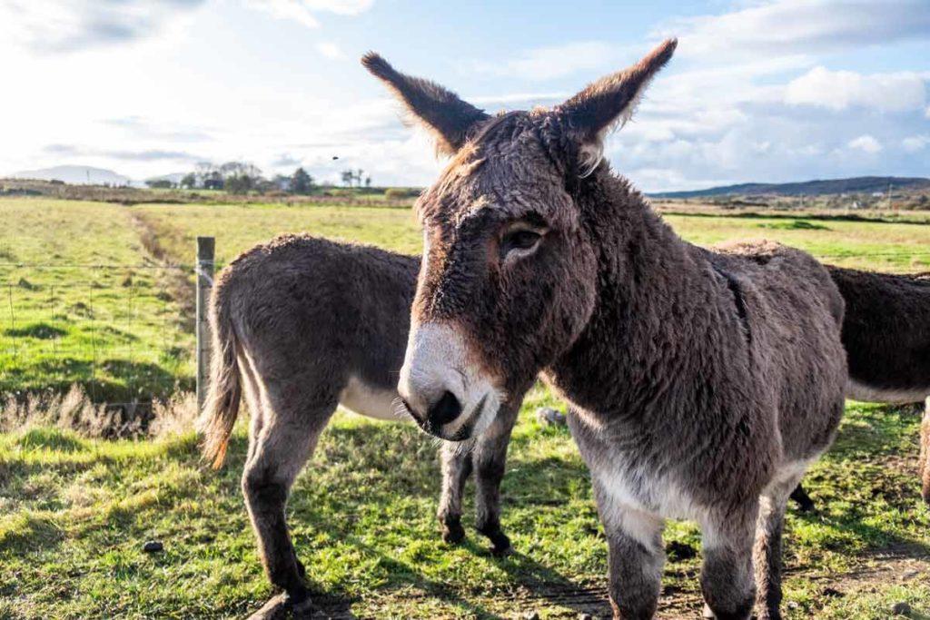 County Donegal Irland - Esel auf der Weide
