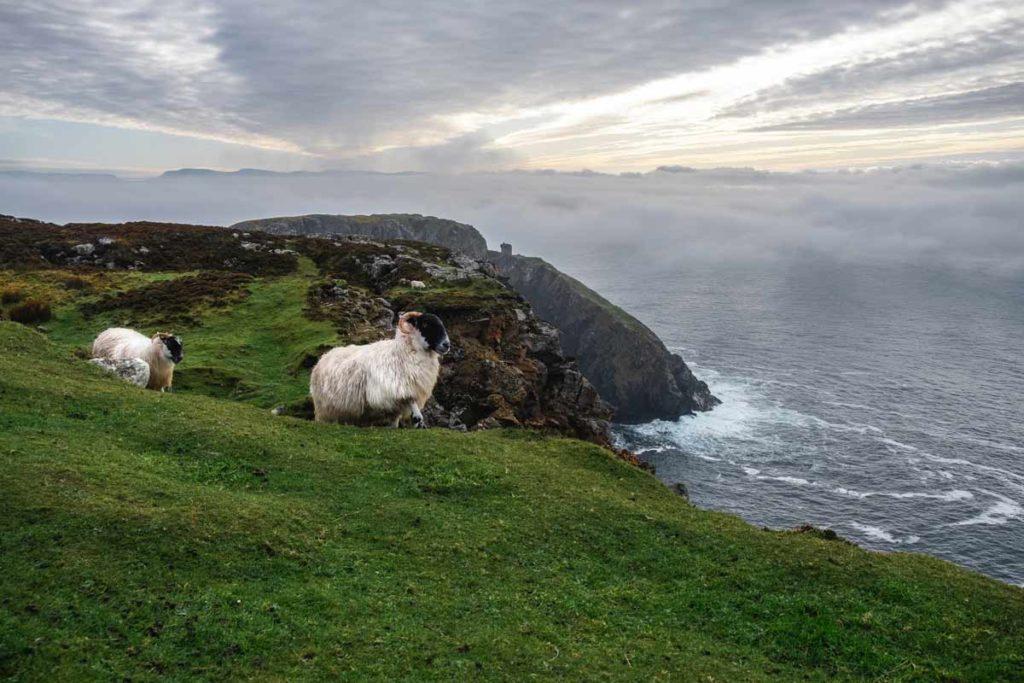 Zwei Schafe vor dem Napoleon Tower bei Slieve League