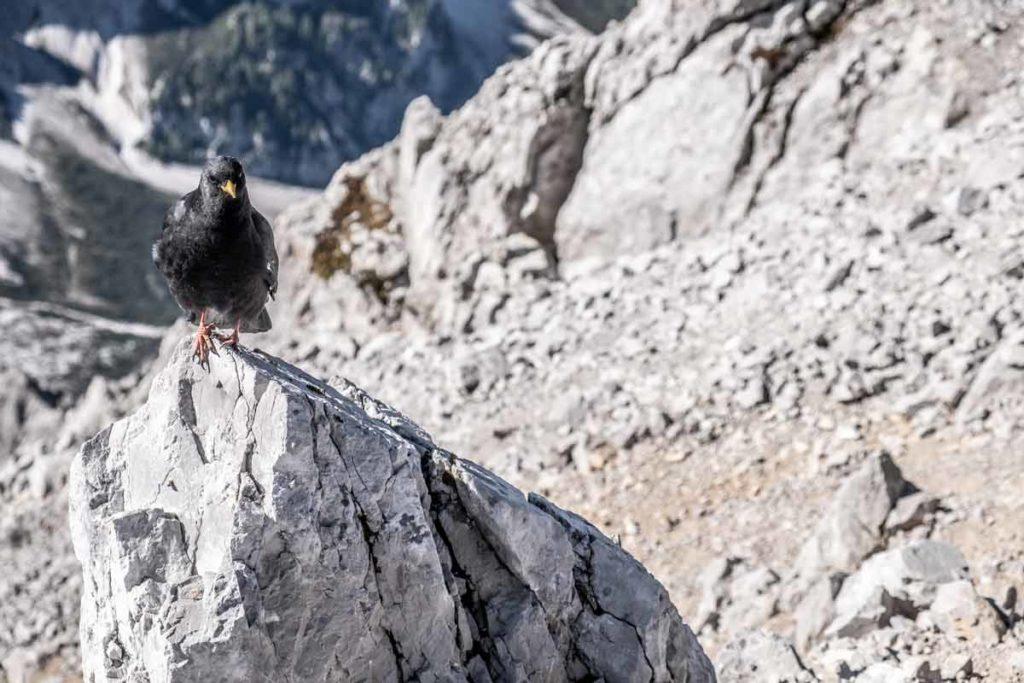 Alpendohle an der Watzmann Südspitze während der Pause