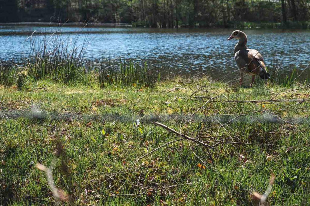 Eine Ente am Teich des Klosters Reichenstein