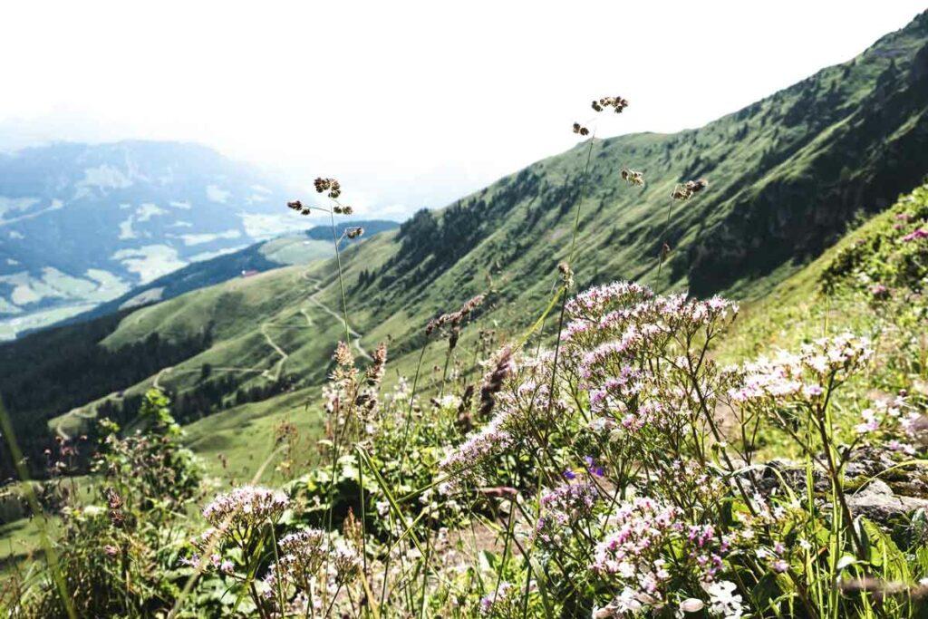 Blumen in den Alpen