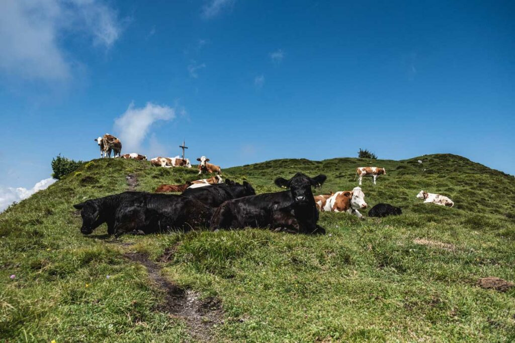 Kühe am Gipfelkreuz des Baumooskogels