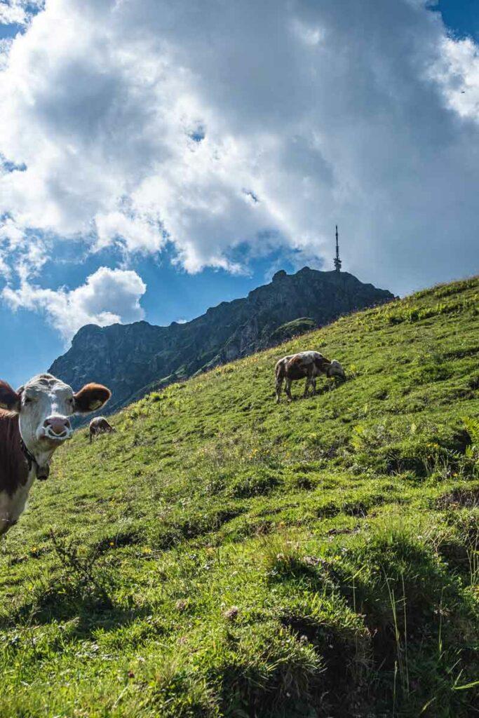 Eine Kuh unterhalb des Kitzbüheler Horns