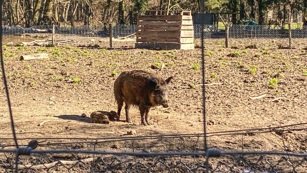 Wildschwein in der Waldau Bonn